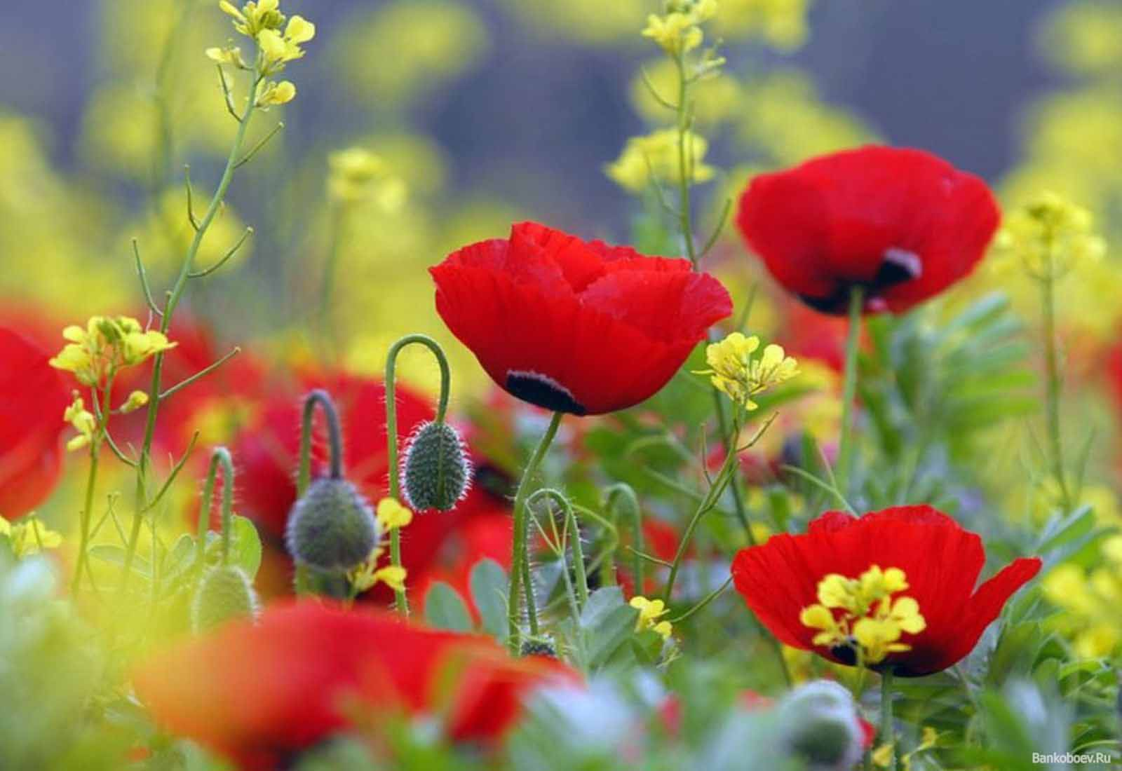 poppies wallpapers 22 hd - photo #19
