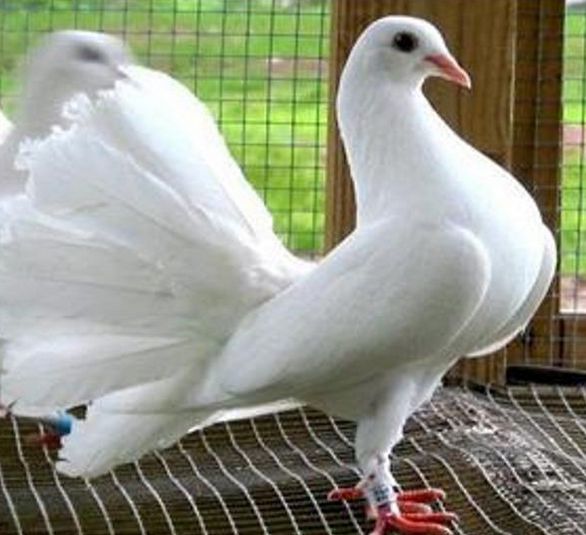 Gambar Burung Merpati Kipas Merpati Hias Gambar Foto