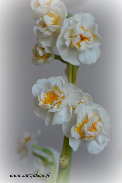 Kukka perunanarsissi narsissi