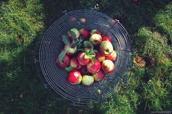 aliciasivert, alicia sivertsson, apples, apple, fruit, autumn, fall, basket, garden, fallfrukt, äpple, äpplen, korg, höst, trädgård