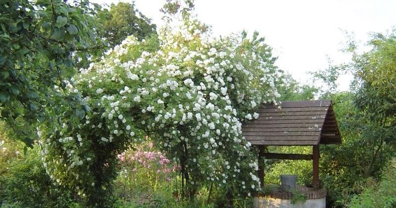 promesse de roses au nord semaine de la rose au jardin des lianes 62. Black Bedroom Furniture Sets. Home Design Ideas