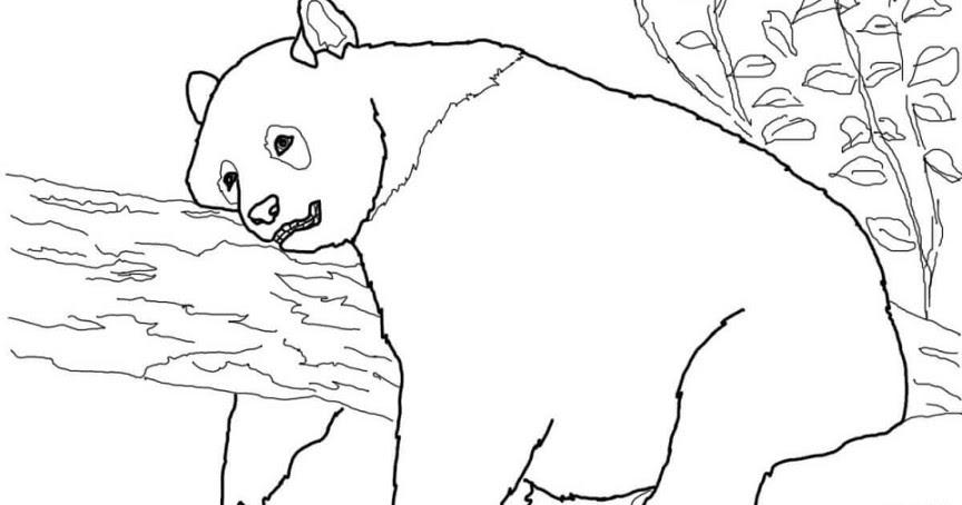 Sketsa Hewan Panda Terbaru Gambarcoloring