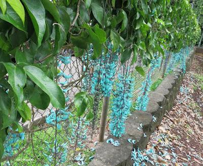 jade vine, Strongylodon macrobotrys