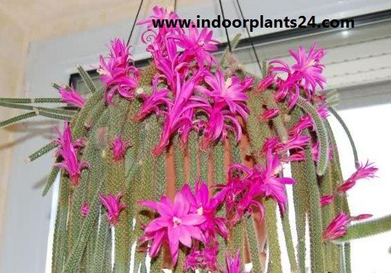 Aporocactus Flagelliformis Cactaceae plant image
