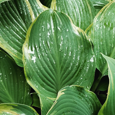 image of some drops of rain on the leaf of a hosta plant
