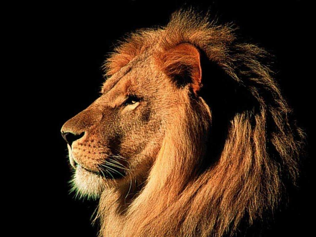 Male lion wallpapers animals library - Lion wallpaper ...