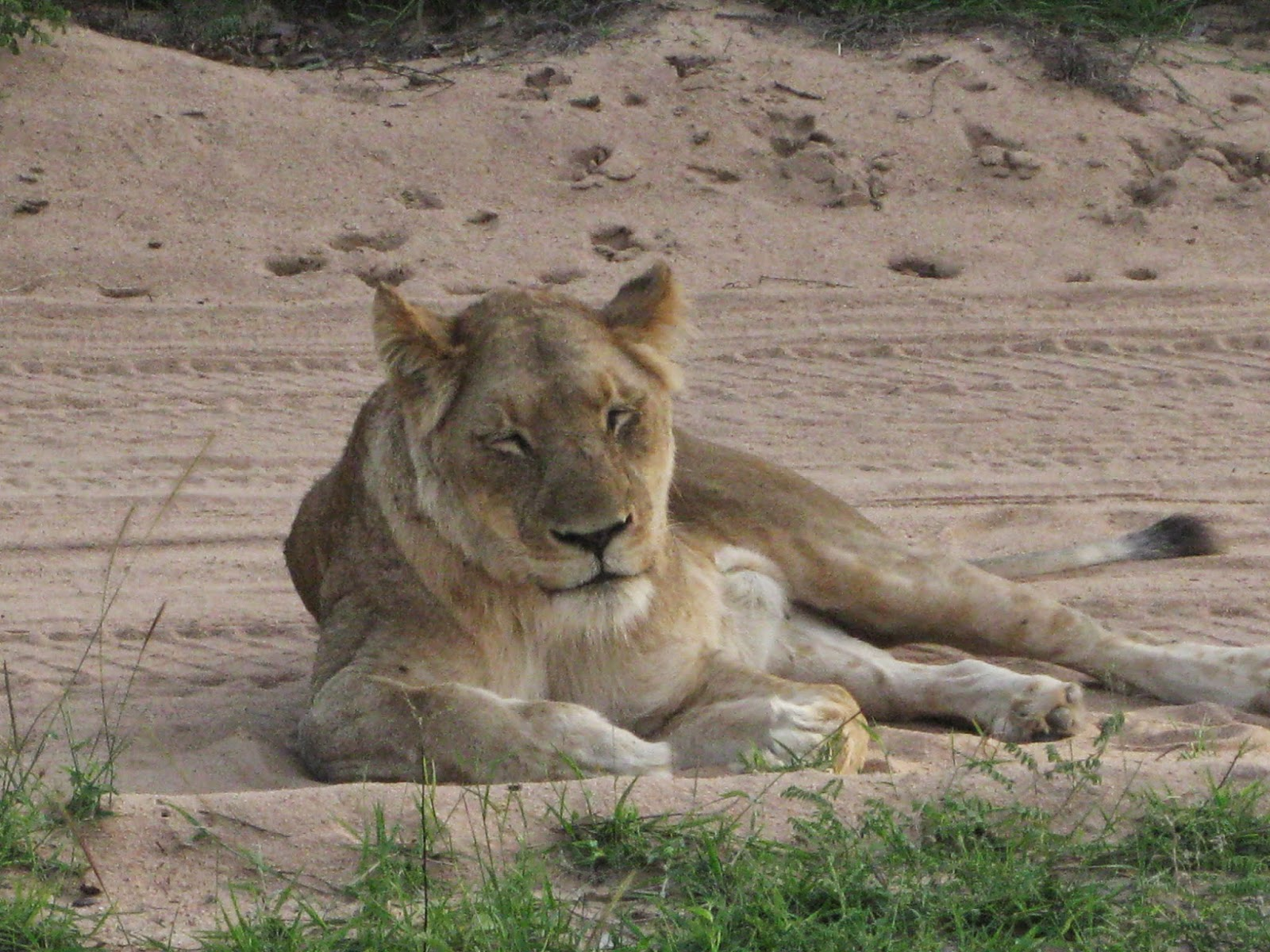Sabi Sands - A lioness rests and calls out to her cubs