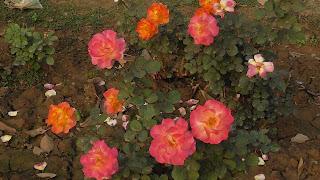 Rose Flower in National Rose Garden Delhi 2069