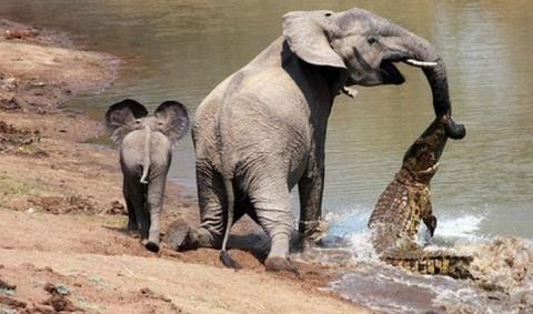 слониха и крокодил