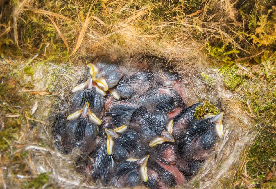 Carolina Chickadees in nest