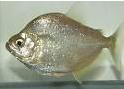 Cara Merawat Ikan Piranha Brandtii  Di Akuarium