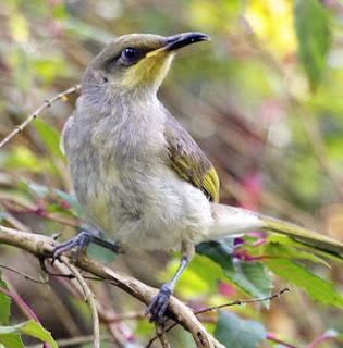 Download suara burung cucak kombo