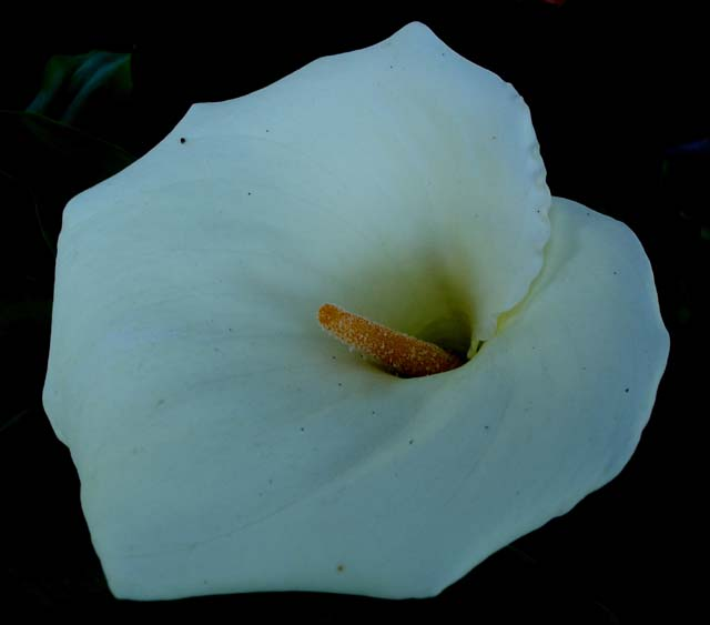 calla lily flower ooty india