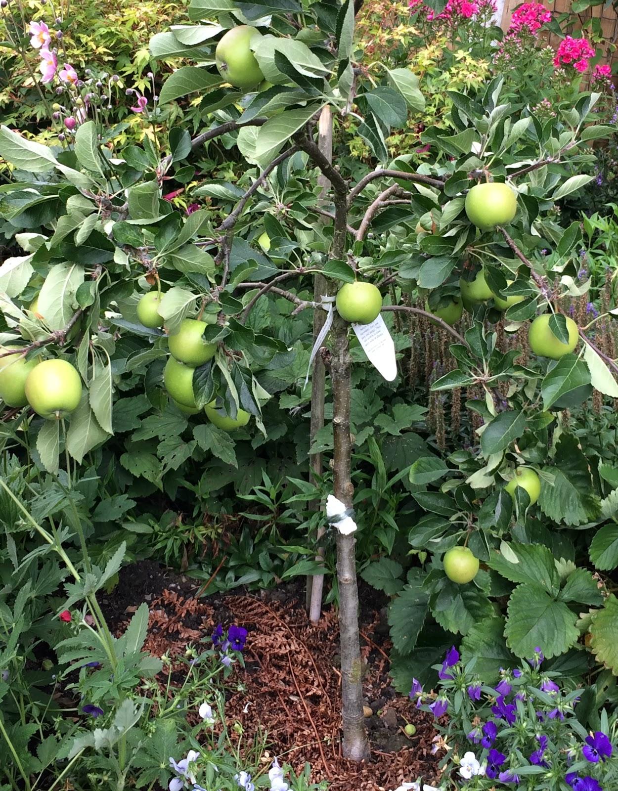 Gardener S Word Dwarf Apple Tree Full Of Fruit