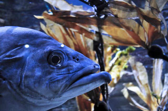 pez del acuario ( no estoy segura de cual es) Muy grande y azul