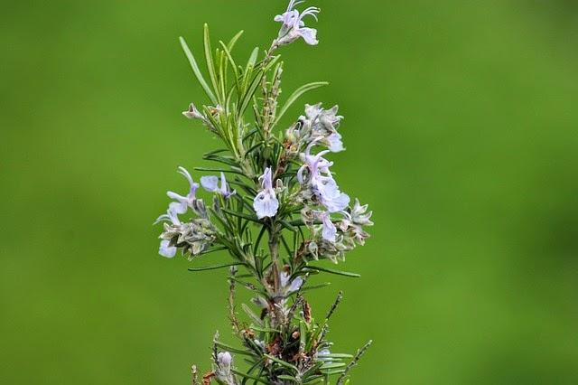 وصفة أعشاب لتنشيط الذاكرة وعلاج النسيان Rosemary-1