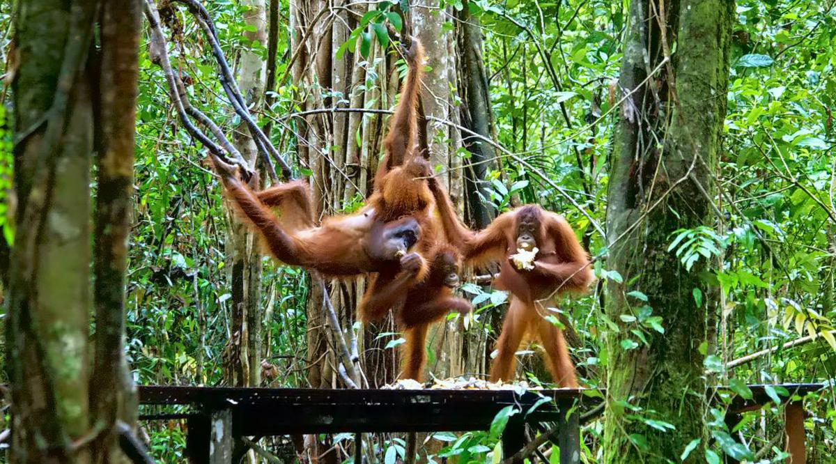 tempat wisata indonesia untuk bulan madu berbulu lebat rang utag Indonesia