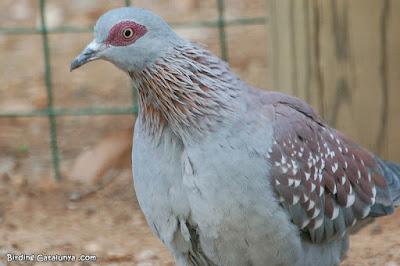 Colom de Guinea (Columba guinea)