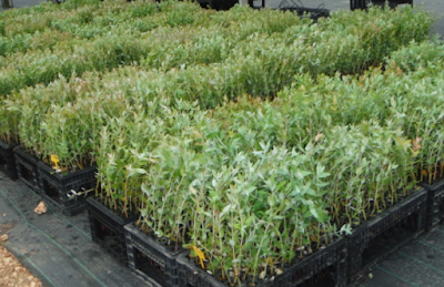 Συμβουλές για διαχείρηση σπόρων ευκαλύπτου melliodora ώστε να φυτρώσουν