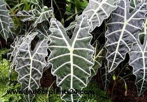 Alocasia sanderiana indoor plant