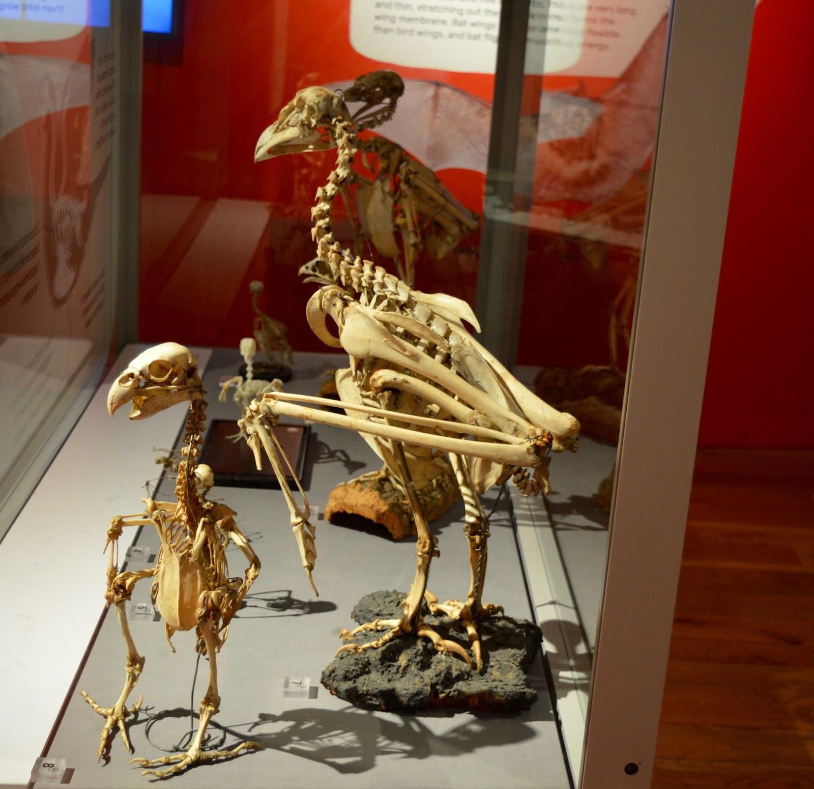 Bones Exhibition at Hancock Museum, Newcastle - bird skeletons