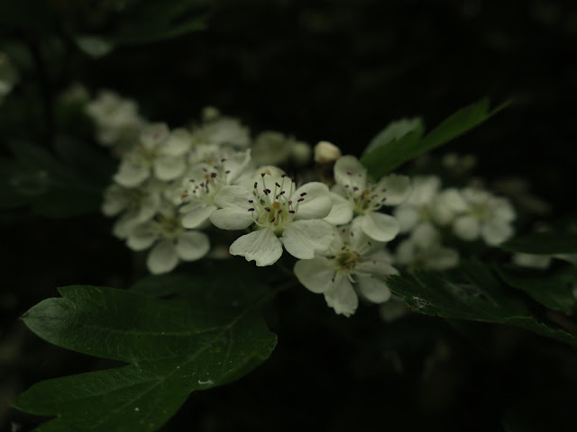 Hawthorn blossom. (May)