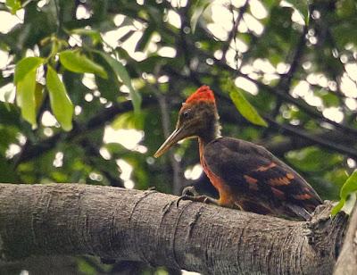 Pico lomo anaranjado Reinwardtipicus validus