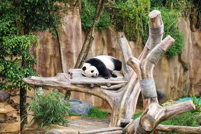 Lihat giant panda di Taman Safari