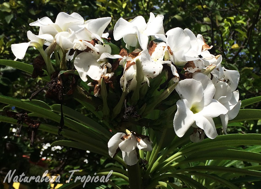 Inflorescencia de la Palma de Madagascar, Pachypodium lamerei