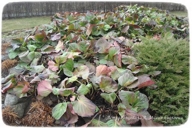 zagadki-pro-vesennie-cvety-podsnezhniki-badan