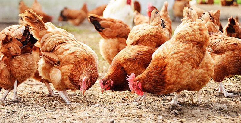 Nos conseils pour prendre soin de vos poules en hiver