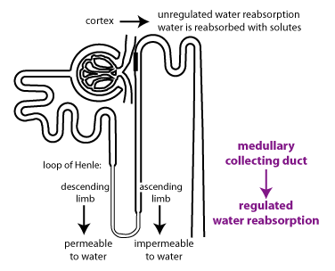 Andrew Biology: 2.72 Water re-absorption