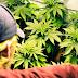 Justiça do CE libera plantio de maconha para fins medicinais