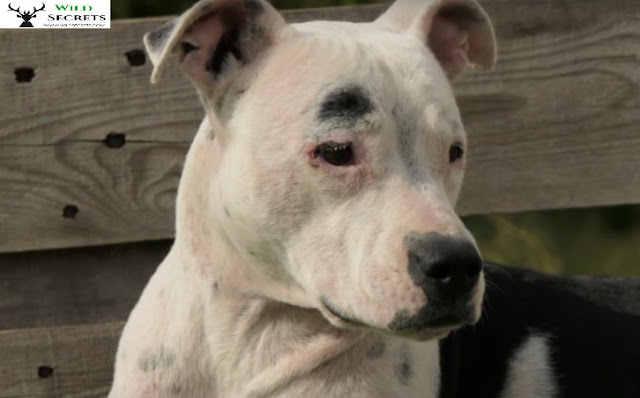 Nobody Helped Her Because She Is A Pit Bull, So She Wandered The Streets In Agony