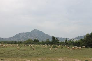 Giá thịt cừu nhảy vọt, nông dân Ninh Thuận lãi hơn 1 triệu/con