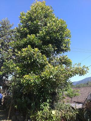 Cara memelihara pohon cengkeh