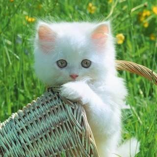 Anak kucing putih comel gigit bakul