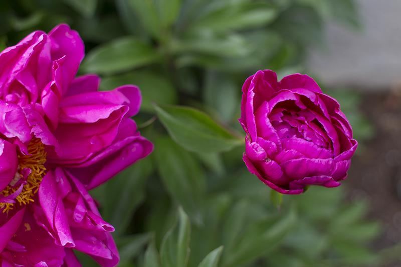 Fuchsia Peonies