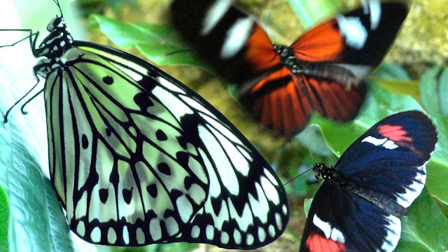 butterfly facts and information in hindi
