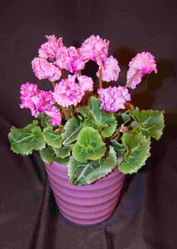 Cyclamen Plant Care Growing Tips Cutting Planting: The Indoor Garden: How To Care For A Cyclamen