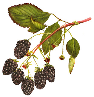 https://4.bp.blogspot.com/-OaMLTDc07dc/WP5kn-Ct_kI/AAAAAAAAfPs/GiDuG3ERLoMZCB_eu7QP1Wxu-yCj4u7uwCLcB/s320/blackberry-clipart-fruit-image-digital-botanical-artwork.jpg