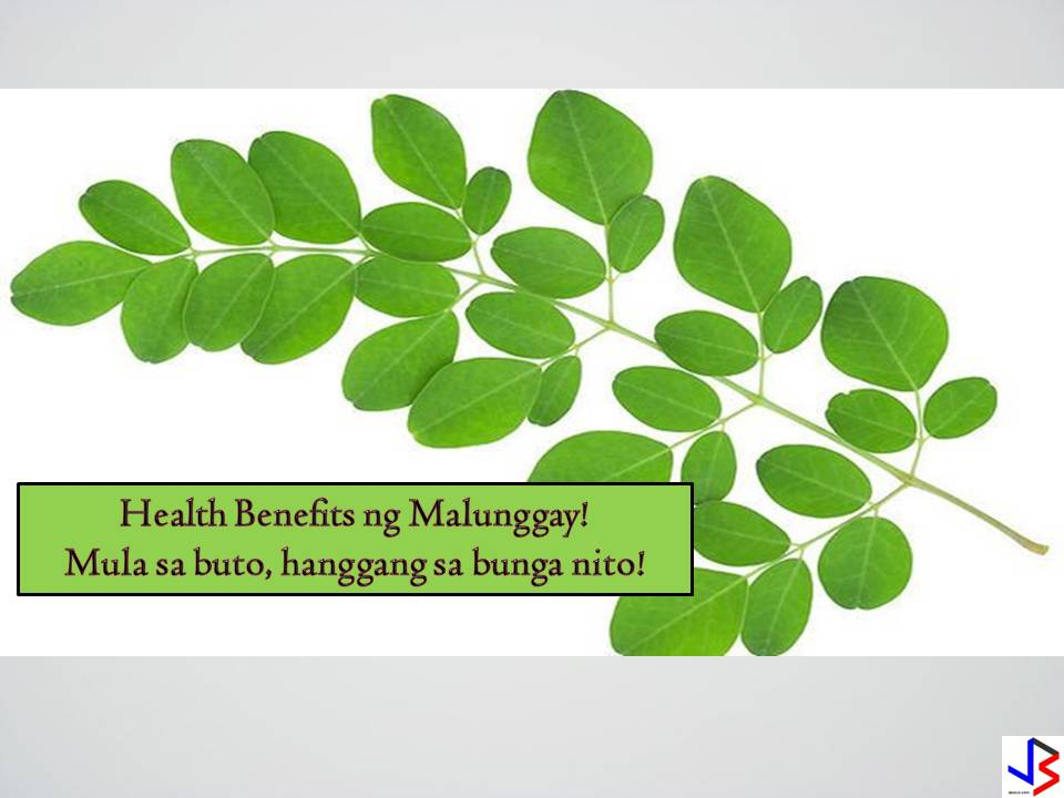 "MORINGA:THE WONDER TREE     Moringa Oleifera,commonly known in the Philippines as malunggay,grows almost everywhere in the continent.The  medicinal uses of the different parts of this edible plant are prominent in Asia region as well as in Europe. Most people recognizes the medicinal properties of moringa and even supported by various medical practitioners in the world. Here are some medicinal uses of the different parts of moringa:   LEAVES    Medicinal Qualities of Moringa Leaves  Moringa juice from its leaves is believed to have a stabilizing effect on blood pressure and relaxing effect.It  is used to treat anxiety.  In most cases of diabetes,moringa leaves is believed to control glucose levels.  Moringa leaves are used as a remedy for diarrhea, dysentery and colitis.Mix moringa leaves with honey and coconut milk in a blender and drink it 2 to 3 times a day.  Leaf juice, sometimes with carrot juice added, is used as a diuretic.   Eating leaves is recommended in cases of gonorrhea because of the diuretic action.  Leaves and buds are rubbed on the temples for headache.  A poultice made from fresh leaves reduces glandular swelling.  Leaf juice is used as a skin antiseptic.  Leaves are used to treat fevers, bronchitis, eye and ear infections, scurvy, and inflammation of the mucus membrane.  Leaves are considered to be anthelmintic for its great effect in killing intestinal worms.  Leaves are known for its laxative effect and is most useful in cleaning the colon.  Eating leaves is believed to increase milk production on pregnant women and is sometimes prescribed for anemia.  SEEDS   Health Benefits of Moringa Seeds      The following are just a few of the health benefits associated with moringa seeds . More research is happening every year on the medicinal value of moringa; we have only just begun to understand how potentially powerful moringa tree seeds are. 1. Lowers Blood Pressure  High blood pressure is a serious cardiovascular issue that can lead to heart attacks and stroke if it isn't managed. Medications are sometimes necessary, but the ideal route if possible is through exercise, a healthy lifestyle and diet, and proper supplementation. While studies have shown that moringa can lower blood pressure, these studies are preliminary and more research needs to be done on humans, so talk to your doctor before stopping any prescribed treatment for high blood pressure. 2. Acts as a Sleep Aid  For a good night's rest, steep moringa leaves in hot water for 15 minutes and then drink before bed. It will help you sleep soundly, which in turn will leave you energized to tackle the day. 3. Boosts Energy  A single serving of moringa has almost three times the amount of iron as spinach. This is especially important for vegetarians/vegans and those who suffer from low iron issues, as the body needs iron to enrich the blood and carry oxygen to our muscles, organs, and tissues. 4. Lowers Blood Sugar Levels A 2014 study published in Acta Histochemica reported that moringa seeds can lower blood sugar levels, which would provide therapeutic management (or even prevention) of diabetes . However, the study was done on lab rats and research is needed on humans before any recommendations can be made. 5. High in Fiber  Moringa is high in fiber, and as a result it can do a great job of moving food along your digestive system. Fiber is also a key component in maintaining a healthy cardiovascular system. 6. Can Lower Cholesterol  Too much cholesterol in the blood has been linked to heart disease. In traditional Thai medicine, moringa is used as a cardiotonic (a drug or herb used to improve how the heart contracts). Some plants have been known to reverse bad cholesterol and research is showing that moringa is among them. 7. Promotes Healthy, Beautiful Skin  The oil extracted from the seeds contains almost 30 antioxidants. The skin absorbs the oil well and can receive these nourishing antioxidants easily. The oil can be used as a moisturizer and antiseptic. SOURCE:www.doctorshealthpress.com advertisement FLOWERS   The flowers of moringa plant can be used in many ways.  Moringa flowers are used in the treatment of malnutrition, just like moringa leaves. You can use infusion made from flowers for colds. Moringa Flowers and root contain the antibioticpterygospermin, which is highly effective on choleraand at high concentration functions as a fungicide. Moringa Flowers are traditionally used as a tonic, diuretic, and abortifacient. Moringa Flowers are considered to beanthelminithic. Moringa flowers are used to treat inflammations, muscle diseases, tumors and enlargement of the spleen. Juice pressed from the Moringa flowers is said to alleviate sore throat and catarrh. An infusion of the flowers is used as eyewash and a decoction from the flowers has been used to treat hysteria.   (SOURCE:moringawealthandhealth.com) advertisement PODS    Aside from being a delicious ingredient to a delicious Filipino vegetable dish,""pinakbet"",the moringa pods also has different important uses.  Moringa seed pods are used in the Ayurvedic medical tradition as a specific cure for worms and parasites.   Seed pods are also crushed and applied topically to treat minor skin inflammations, warts and infections.   The oil contained in the seed pods can be used to reduce inflammation caused by arthritis, rheumatism and gout. Moringa seed pods contain complex chemical compounds with antibiotic and antioxidant properties that can boost the body's own natural immune system. As a result, the seed pods are often recommended by Ayurvedic practitioners for patients with digestive upsets and abdominal tumors.  Moringa seed pod husks are a bountiful low-cost source of activated carbon, an important medical tool in the treatment of ingested poisons. Unlike other sources of activated carbon that can require extensive processing prior to use, moringa seed husks can be processed using single-step steam pyrolysis, a simple method that can be performed even in remote areas and without advanced technological tools.   The chemical compounds in moringa seed pods have also been scientifically proven to reduce swelling and inflammation, making them valuable treatments for arthritis and other inflammatory diseases.  Moringa seed pods are currently being used to purify water in a number of remote areas where technologically advanced methods of water purification are not practical. The oil contained in moringa seed pods contains a natural coagulant that interacts with impurities in the water and allows them to settle safely to the bottom, providing fresh drinking water in areas where dirt and other contaminants typically render water supplies unsafe for human consumption. Because moringa seed pods are completely nontoxic and safe for consumption themselves, the resulting water is safer for drinking and other personal uses. Additionally, crushed moringa seed pods can often be acquired at little or no cost from industrial sources that produce this seed pod presscake as a byproduct of moringa oil extraction, making this water treatment method a cost-effective and efficient use of limited resources in less developed parts of the world."