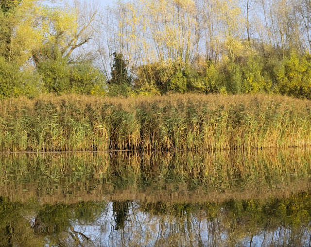 Reed bed turning brown backed by trees with yellow foliage