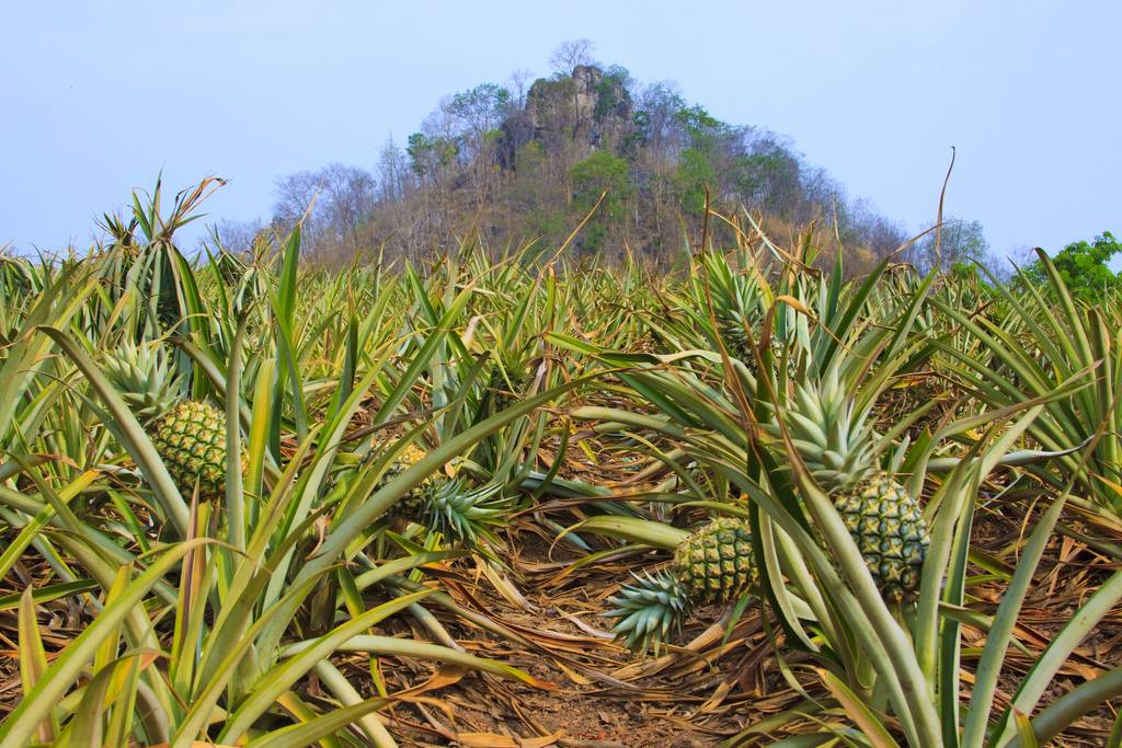 Pineapple Fields Forever Kuriositas