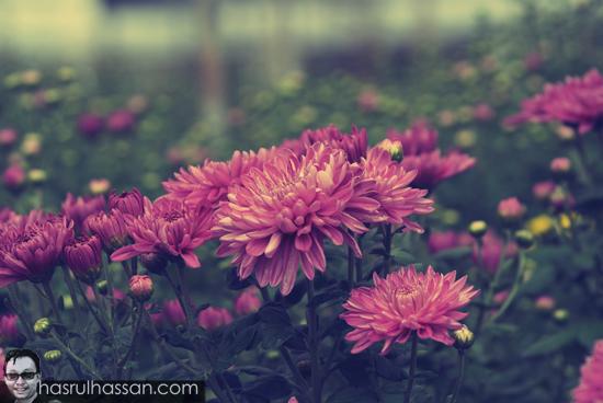 Bunga Kekwa di Cameron Highlands