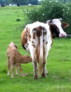 Beef Cattle Calf Nursing Cow