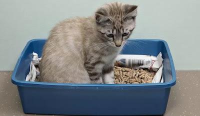 Cara Melatih Anak Kucing Anda Menggunakan Kotak Pasir