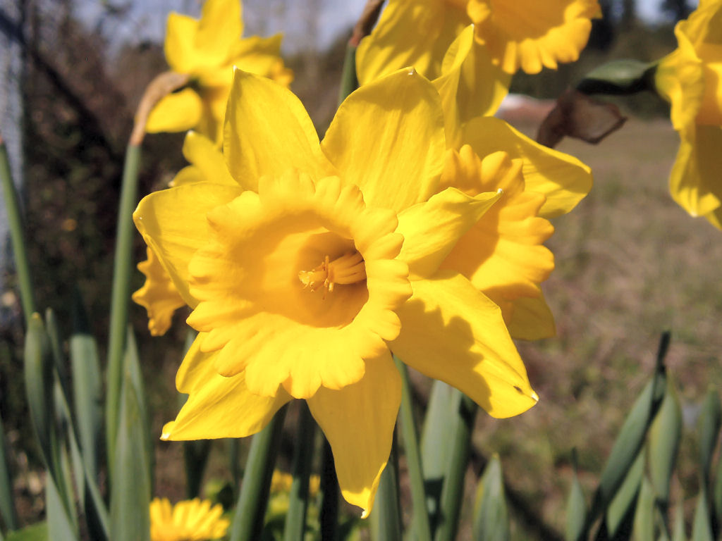blogger for wallpaper  daffodil flower wallpaper