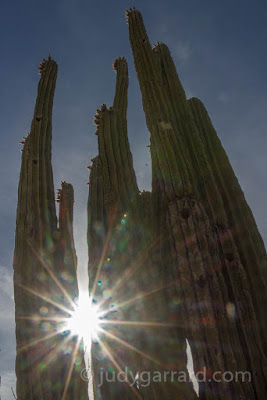 Cardon cactus with sun flare at Desert Botanical Gardens