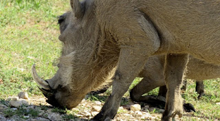 Only a mother could love African wild pigs also known as warthogs